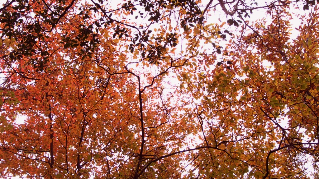 紅葉がぼちぼち綺麗になってきてる
