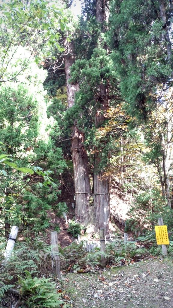 三本杉樹齢1200年