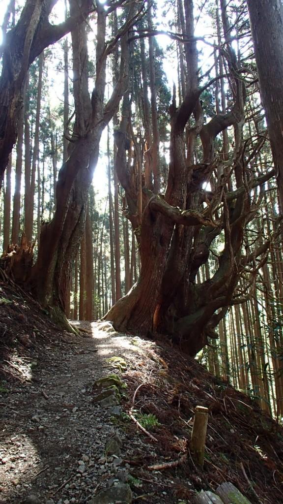 小辺路巨木